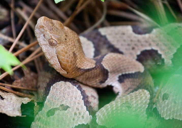 Copperhead (Agkistrodon contortrix) in Congaree National Park, South Carolina.