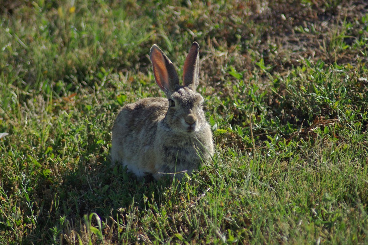 Cottontail in Badlands National Park.