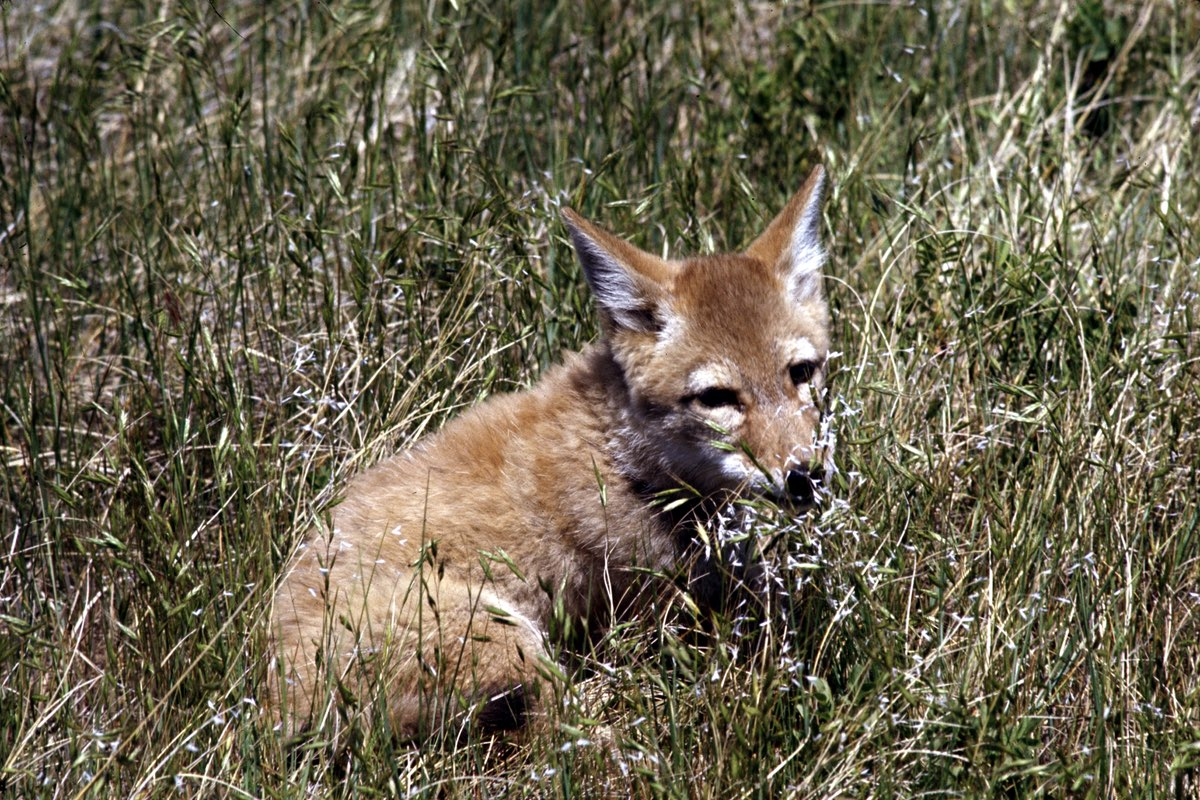Young Coyote relaxing in Wind Cave National Park.