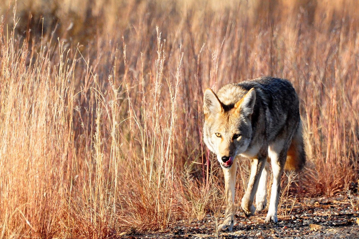 Coyote in Bandelier National Monument.