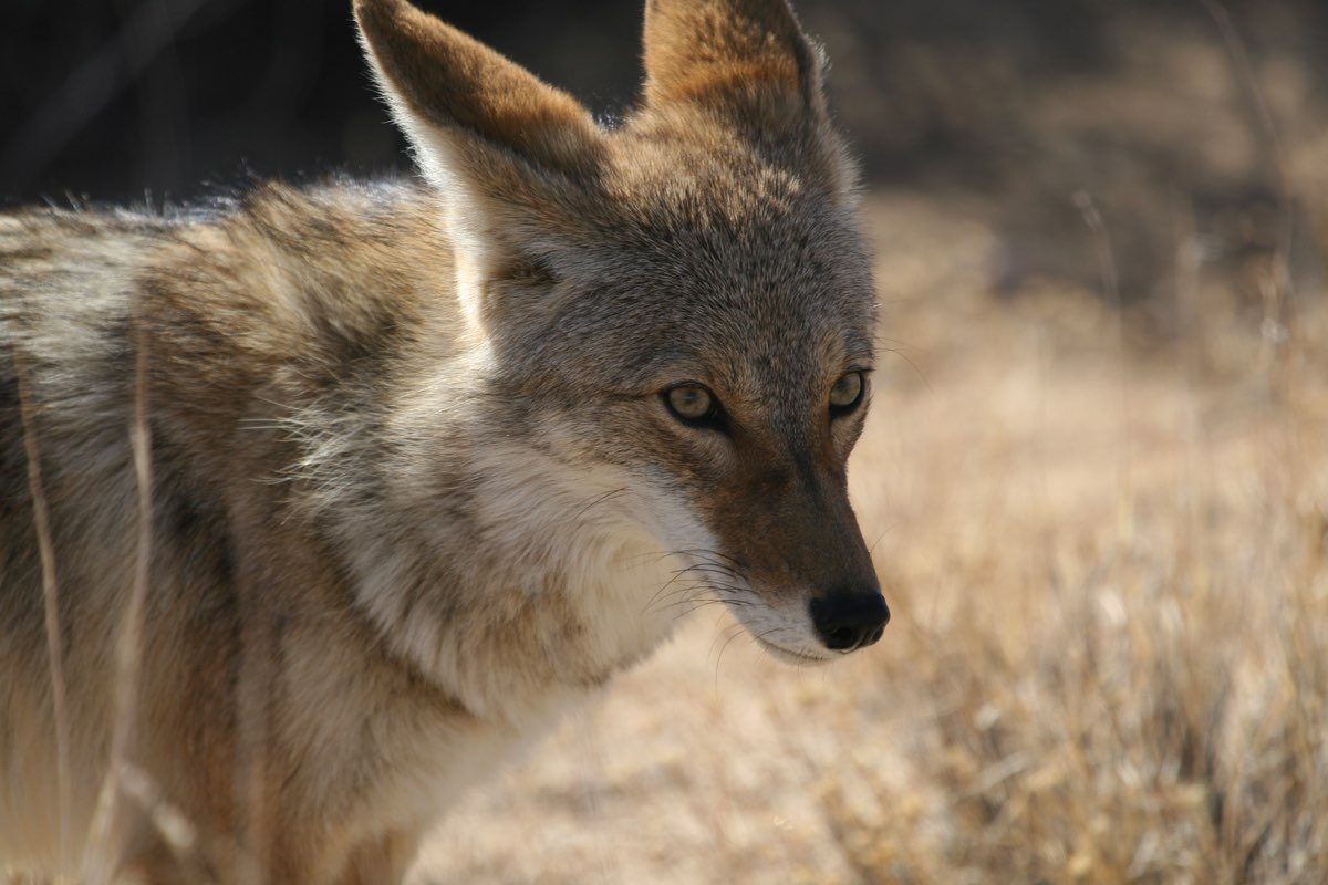 Coyote in Joshua Tree National Park.