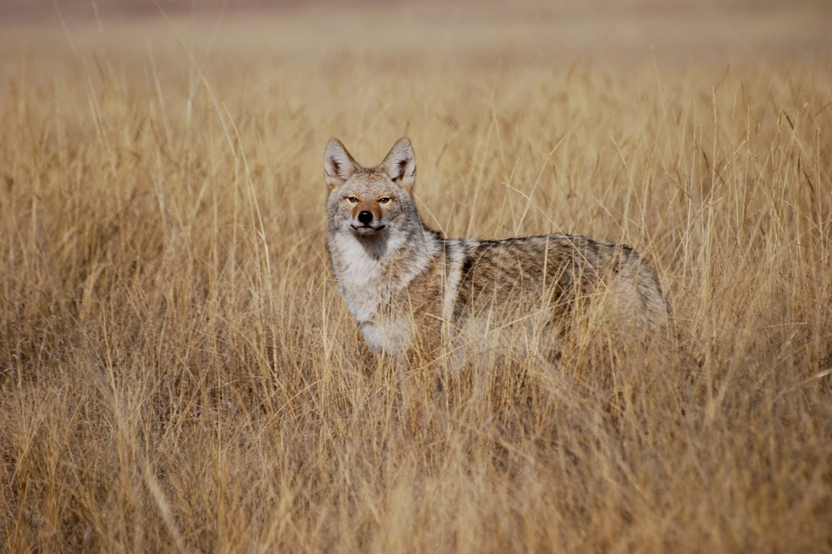 Coyote in the prairie in Wind Cave National Park.