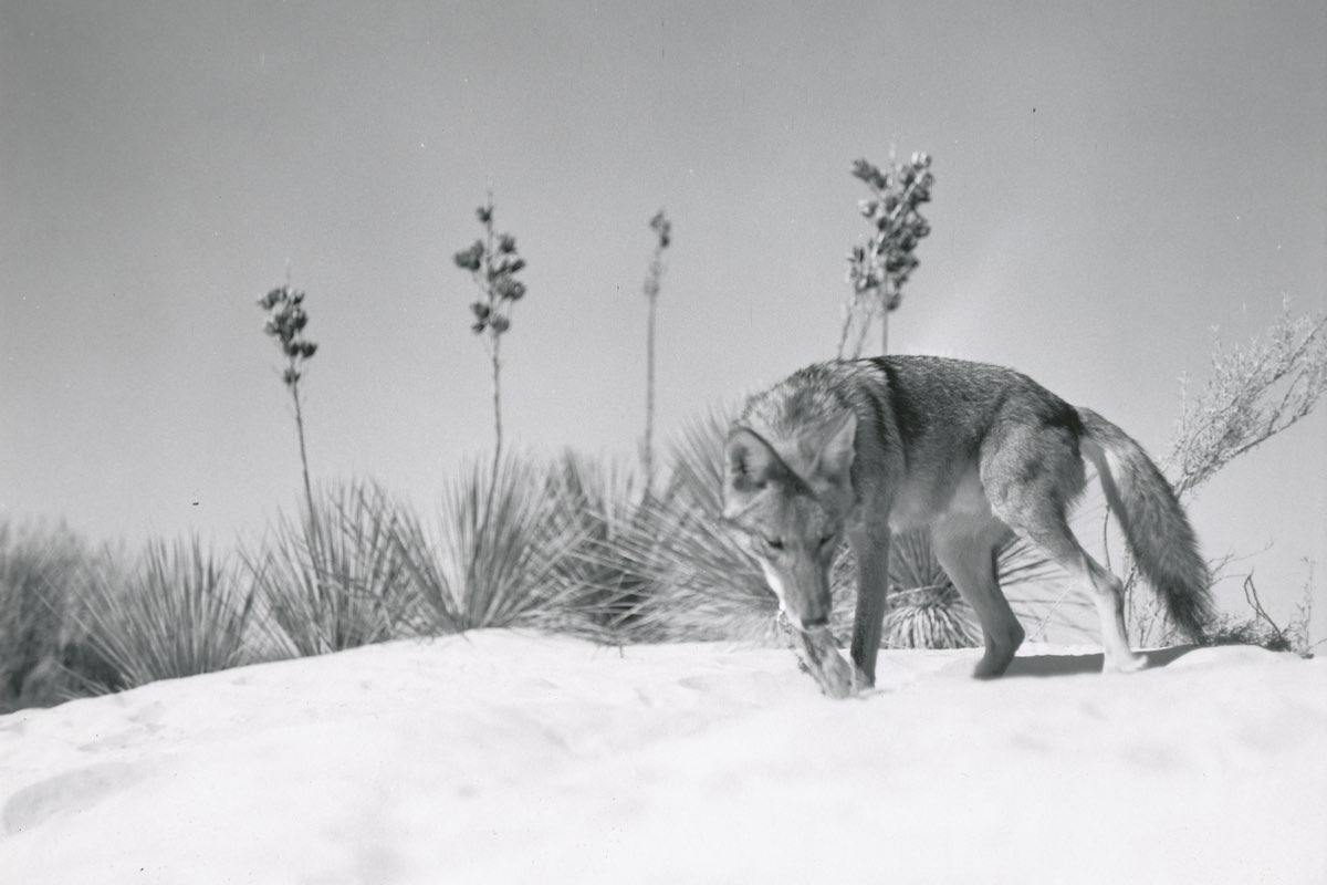 Coyote in White Sands National Monument.