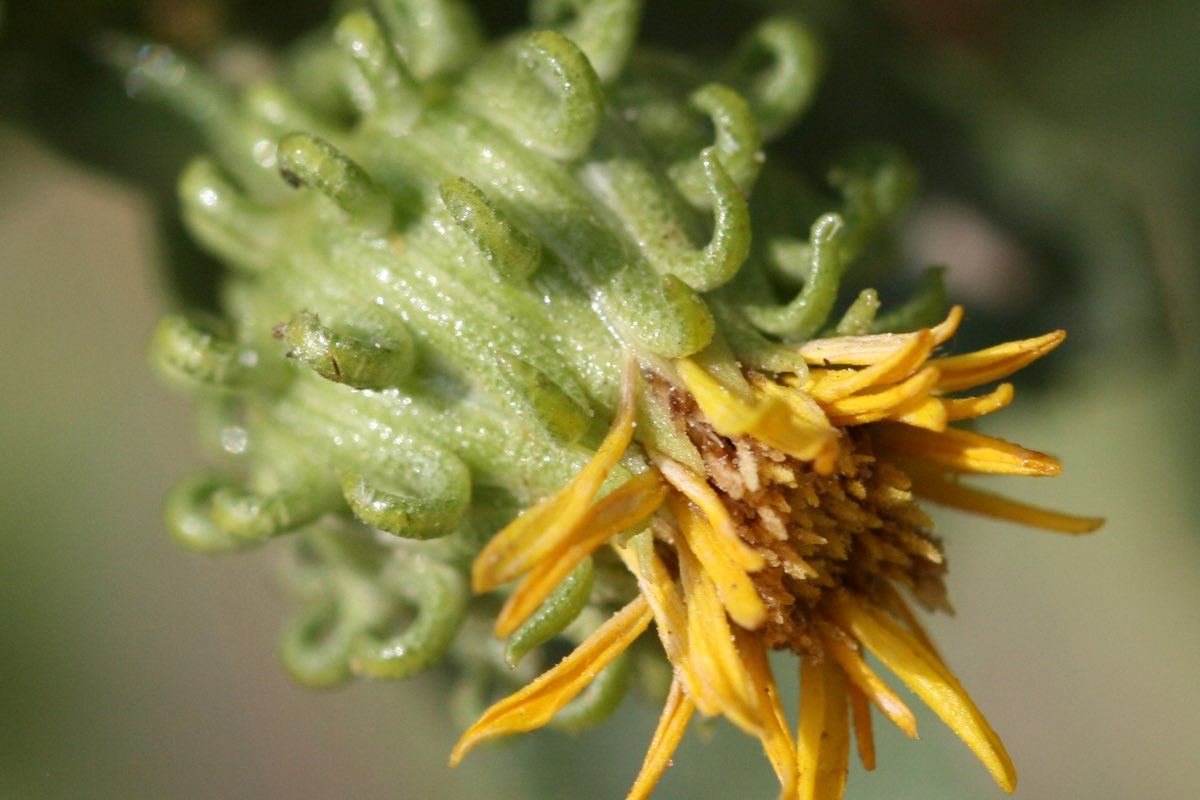 Curly Gumweed in Badlands National Park.