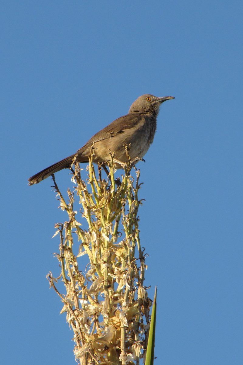 Curved-billed Thrasher are sure to delight birders visiting White Sands N.M.