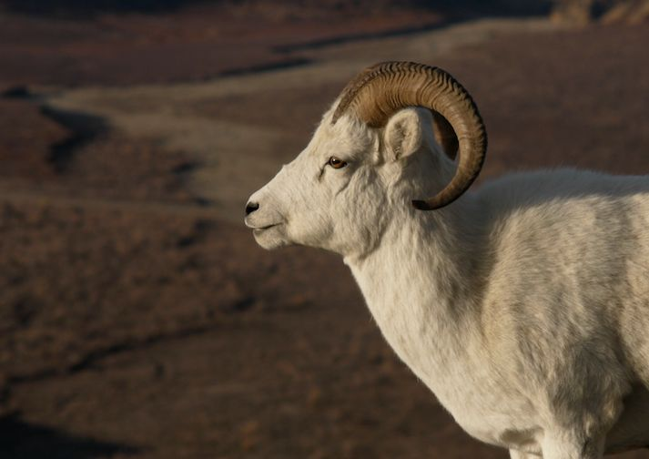 Dall Sheep in Wrangell St. Elias.