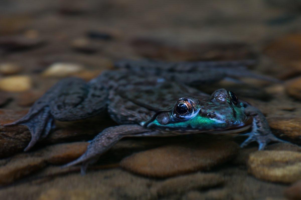 Frog in in Alapocas Run State Park, Delaware.