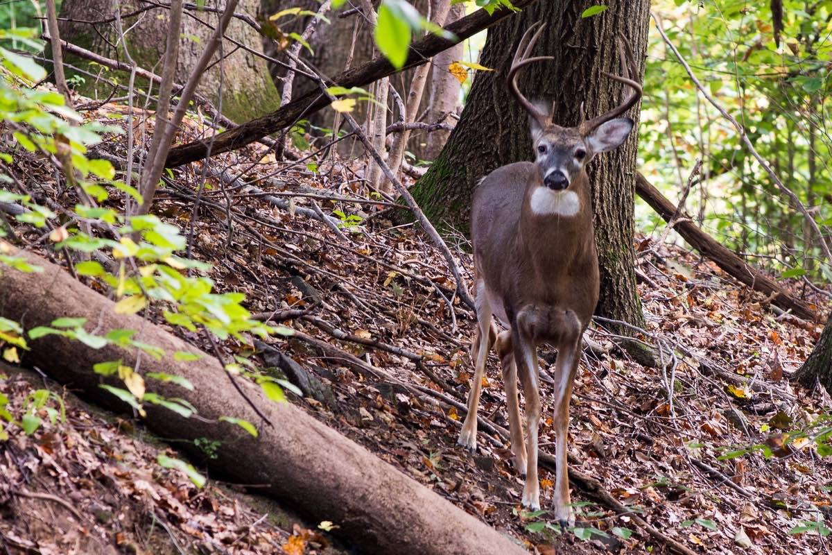 Big whitetail buck in Alapocas Run State Park, Delaware.