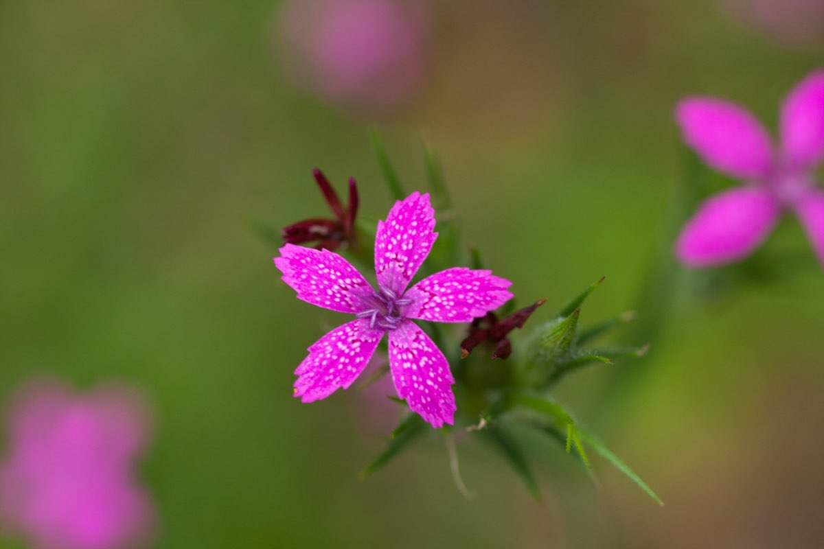 Deptford Pink (Dianthus-armeria) wildflower in Bald Eagle State Park near State College Pennsylvania.