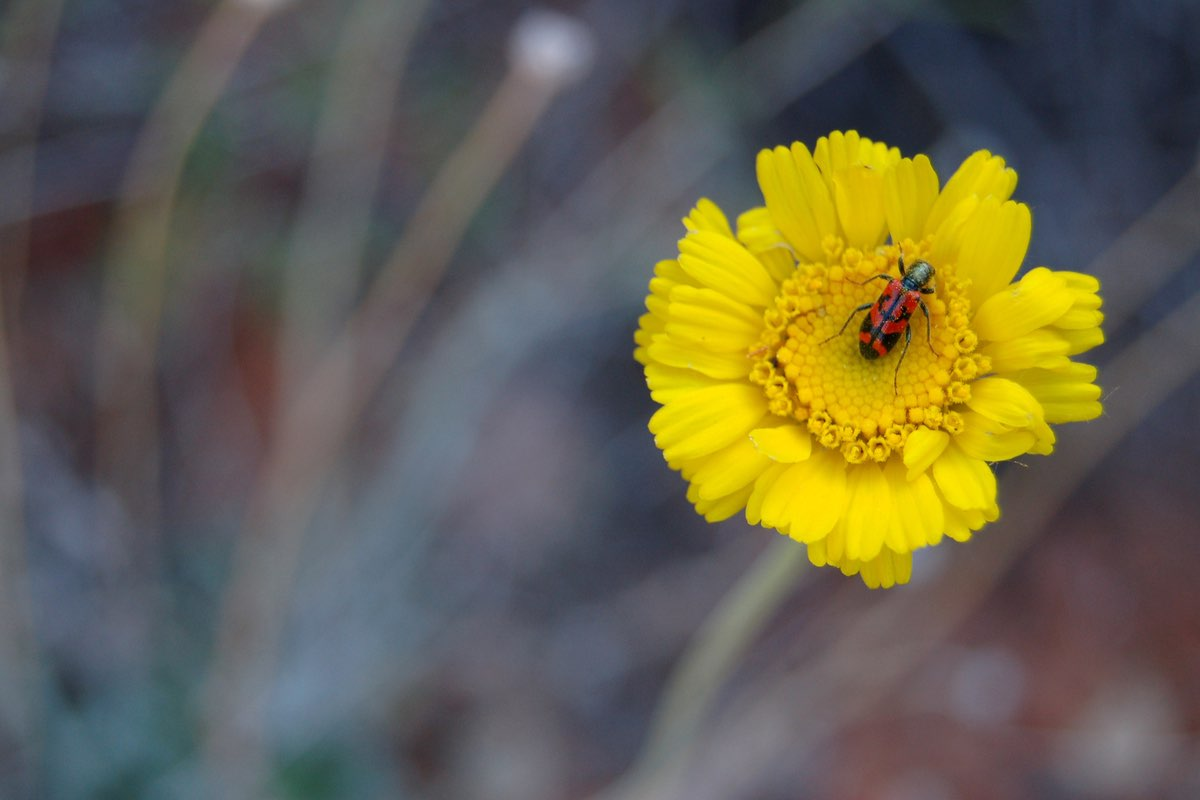 Ornate Checkered Beetle (Trichodes ornatus) on a Desert-marigold (Baileya radiata) in Zion National Park.