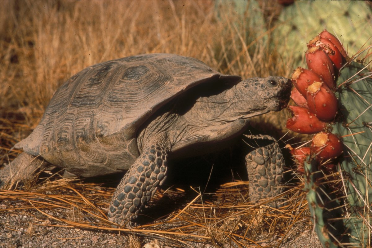 Desert Tortoise enjoying a Prickly Pear snack in Saguaro National Park.