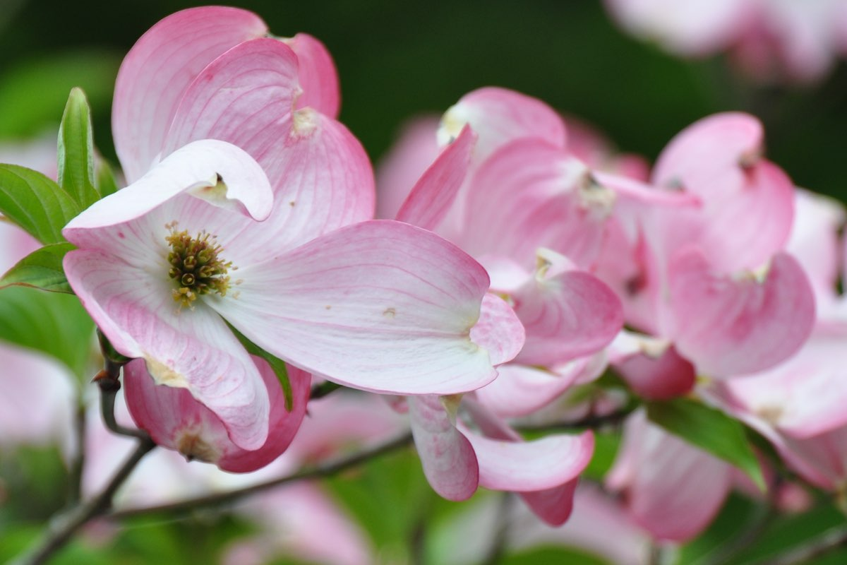 Flowering Dogwood in Cuyahoga Valley National Park.
