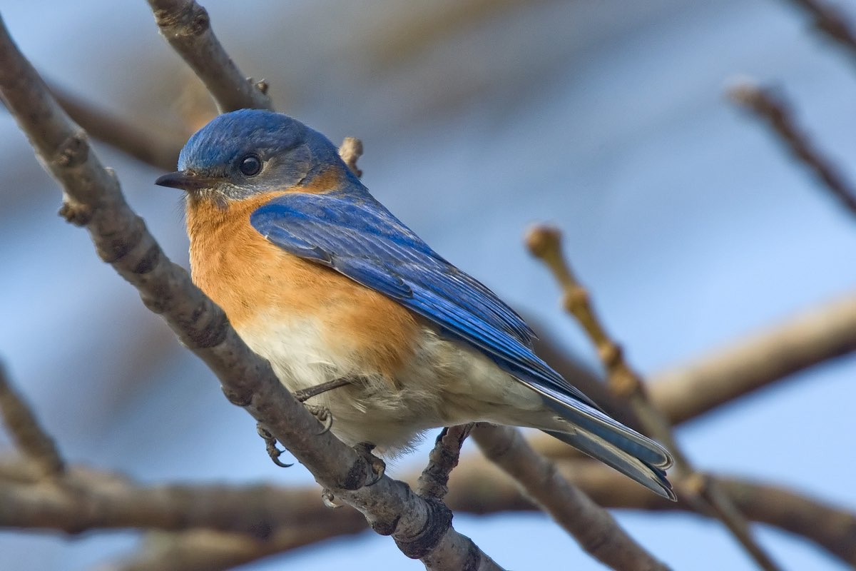 Watch for Eastern Bluebirds in Knob Noster State Park.
