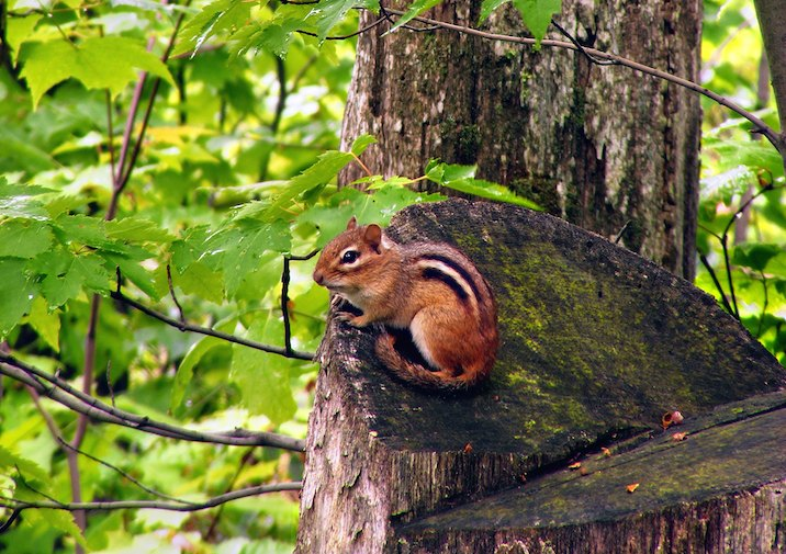 Eastern Chipmunk along the trail in Ricketts Glen State Park in Pennsylvania.