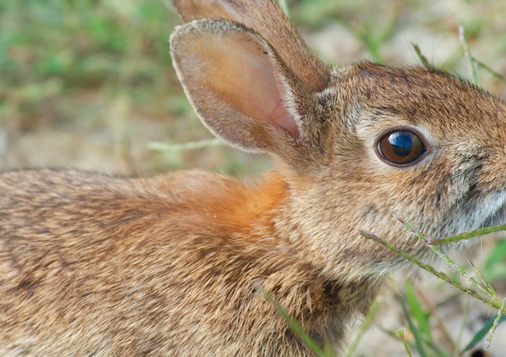 Watch out for Eastern Cottontails (Sylvilagus floridanus) along the trail.