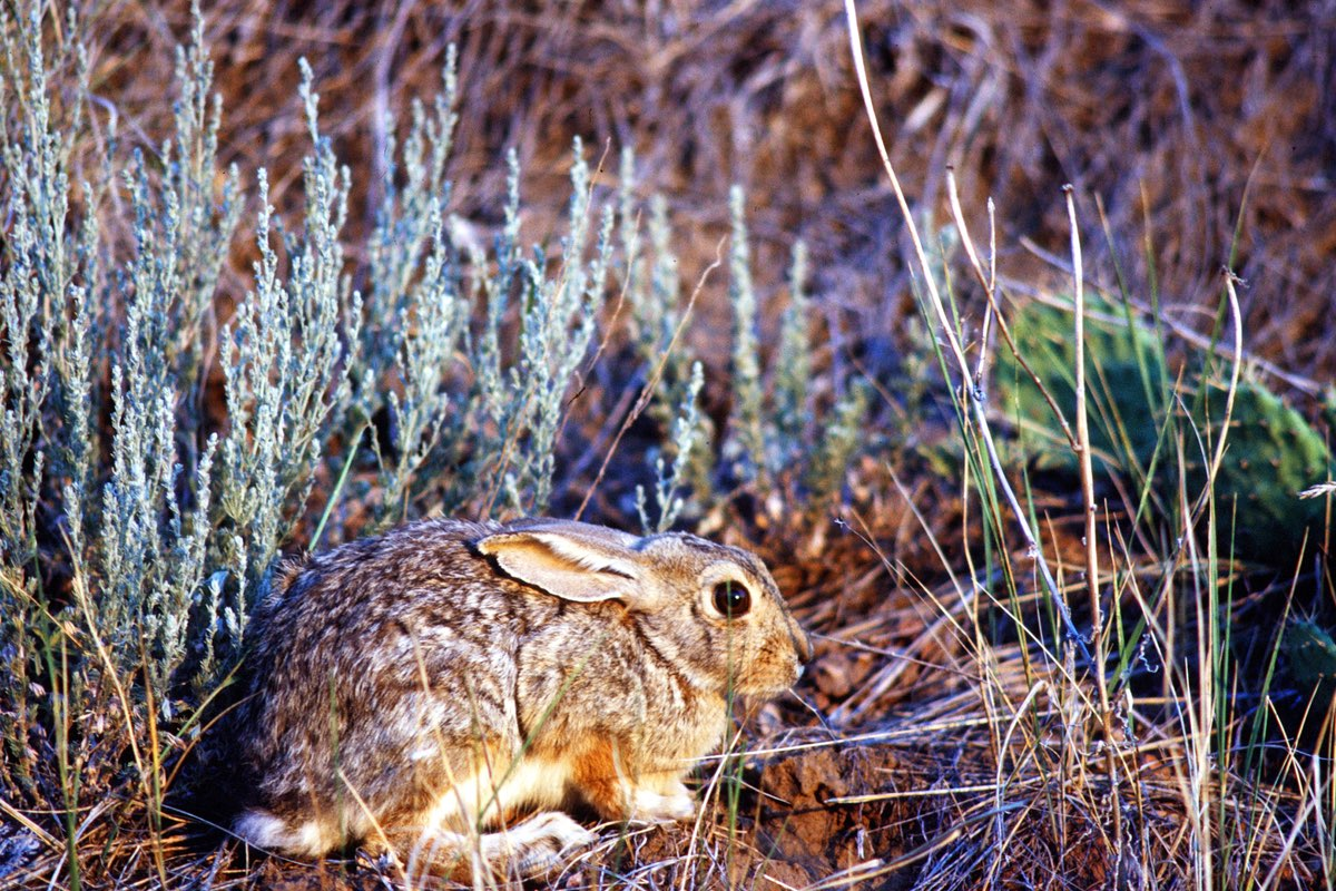 Eastern Cottontail in Wind Cave National Park.