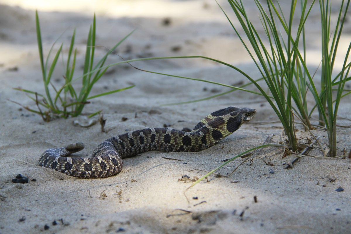 Eastern Hognose Snake along the West Beach Trail in Indiana Dunes National Lakeshore.