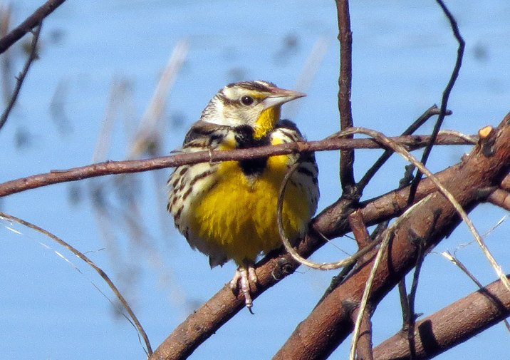 Watch for Eastern Meadowlarks along this trail.