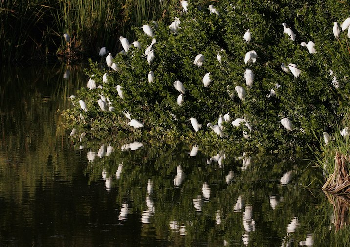 Snowy Egrets (Egretta thula) at Eco Pond.