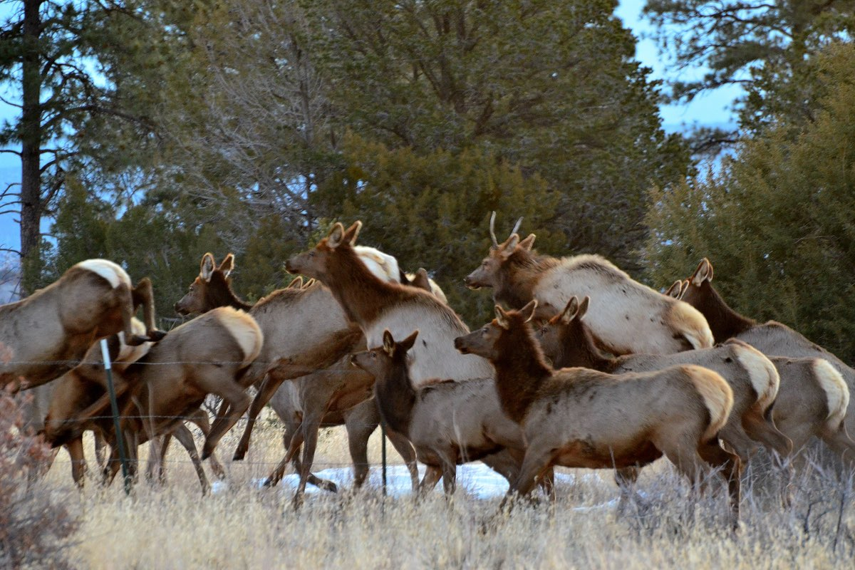 Elk in Bandelier National Monument.