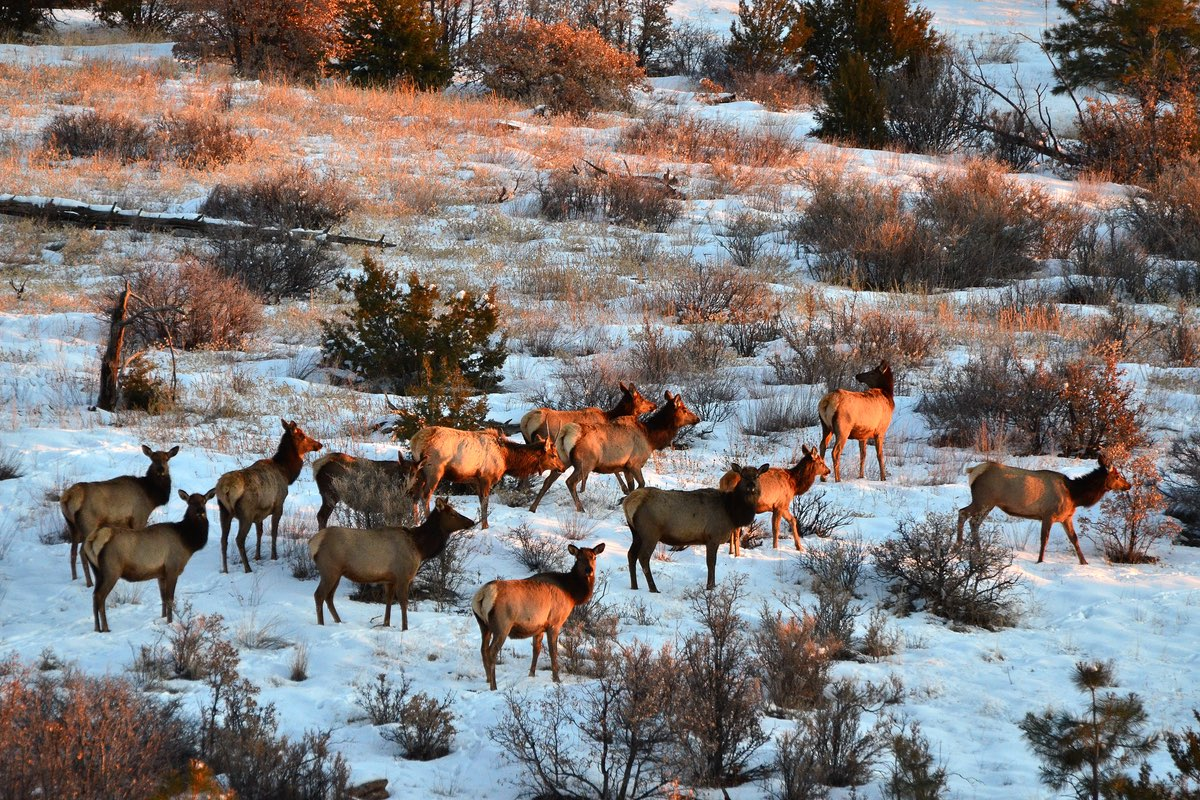 Elk herd in Bandelier National Monument.