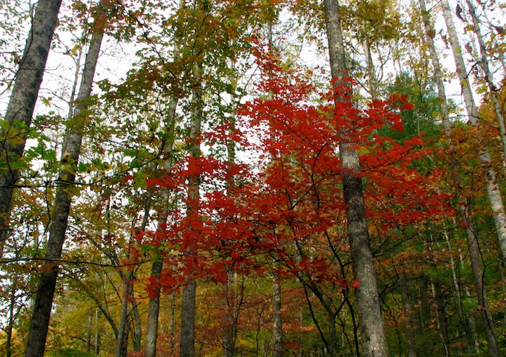 Bright Red Maple in the fall at Frozen Head State Park Tennessee.