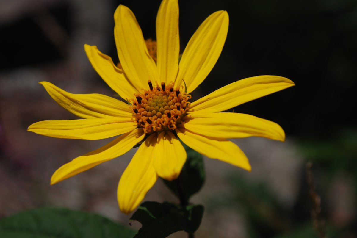 False Sunflower (Heliopsis helianthoides) seen hiking along the East Bluff in Devil's Lake SP.