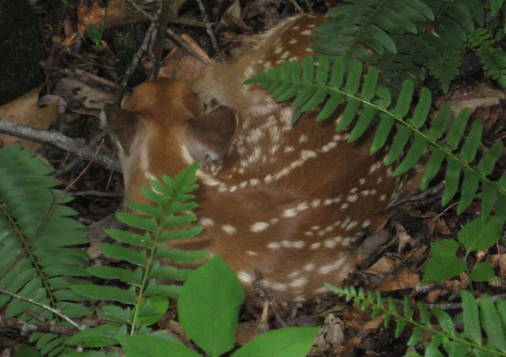 Fawn napping in Bear Creek Lake State Park in Virginia.