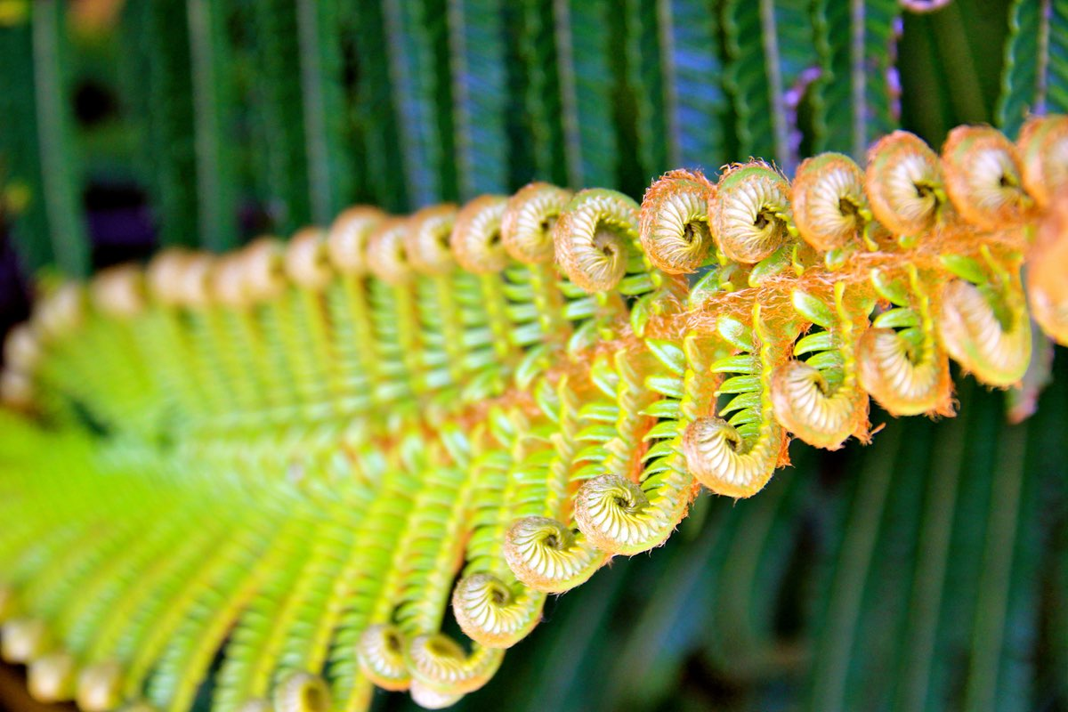 Fern in Hawaii Volcanoes National Park.