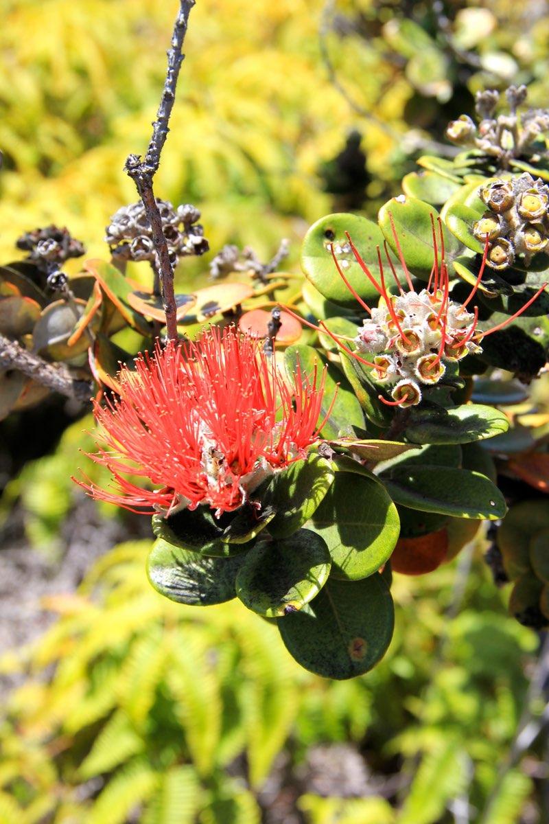 Flower bloom in Hawaii Volcanoes National Park.