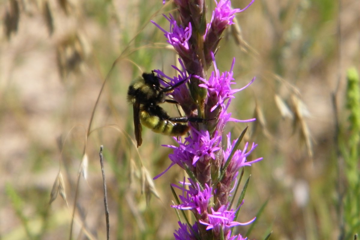 Bee on a Gayfeather (Liatris spicata) wildflower in Scotts Bluff National Monument.
