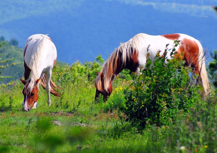 Wild Horses along the Appalachian Trail in Grayson Highlands State Park in Virginia.