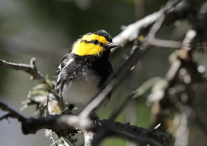 Golden Cheeked Warbler in Balcones NWR near Austin Texas.