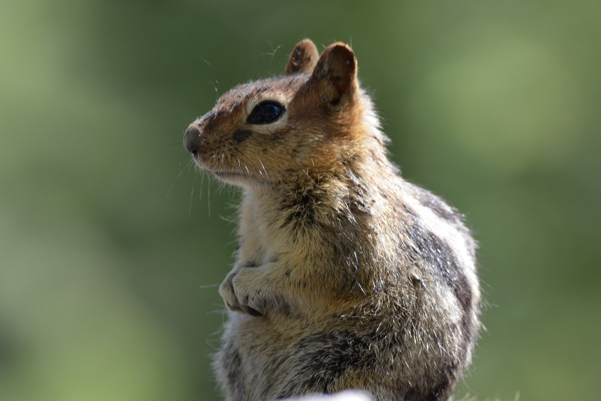 Golden-mantled Ground Squirrel in Lassen Volcanic National Park.