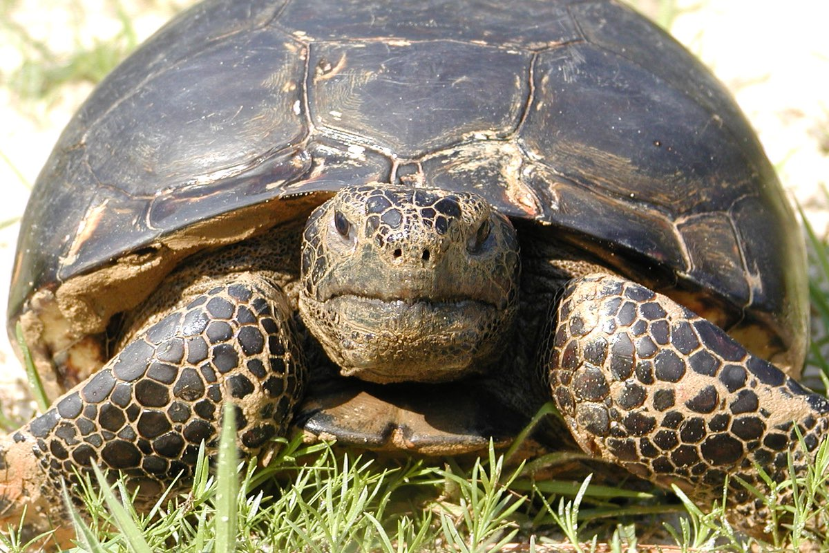 True to it's name, Gopher Tortoise are common along this trail.