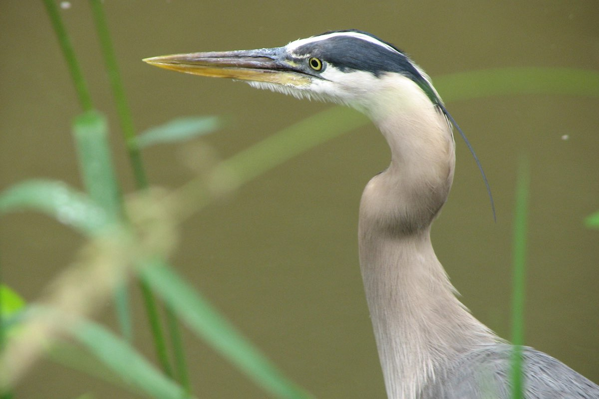 Great Blue Heron in Cuyahoga Valley National Park.