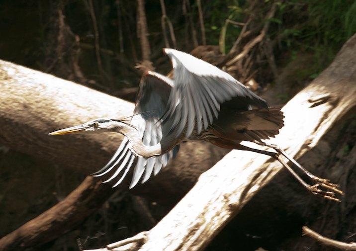 Great-blue Heron (Ardea herodias) in Congaree National Park.