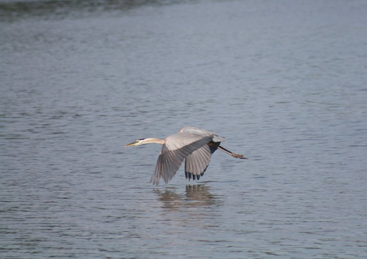Great Blue Heron in Belle Island State Park in Virginia.