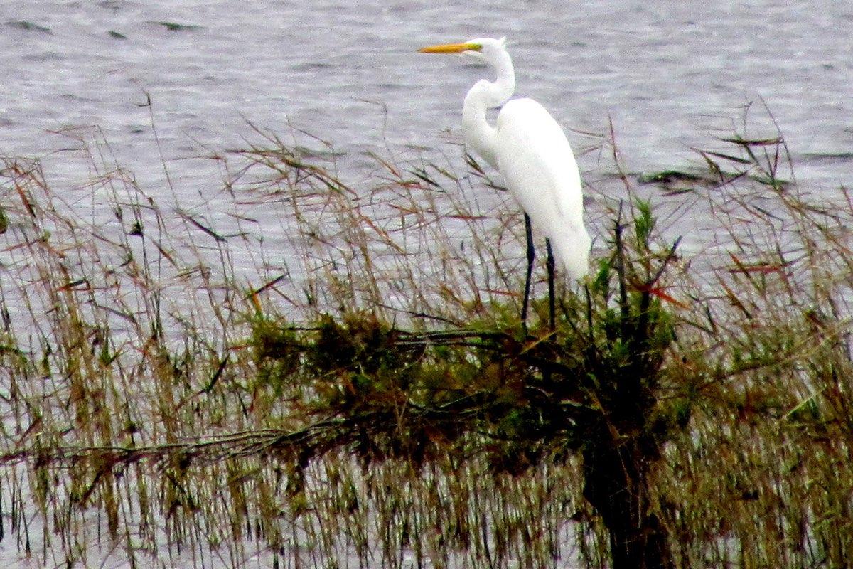 Great Egret in Lake Waccamaw State Park near Wilmington North Carolina.
