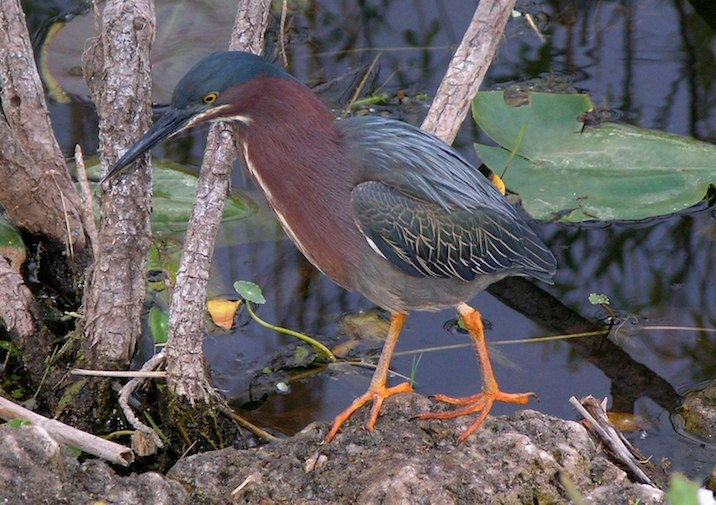 Green Heron (Butorides virescens) in Everglades National Park.