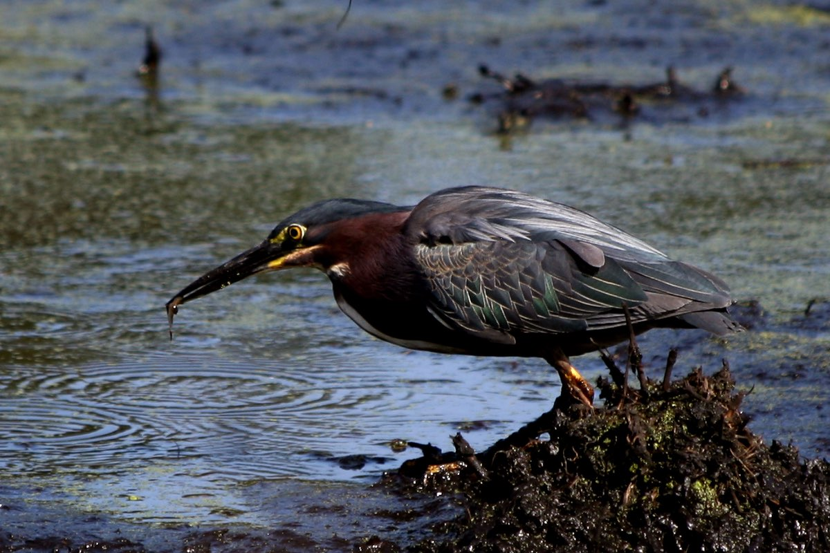 Green Heron in Great Marsh in Indiana Dunes National Lakeshore.