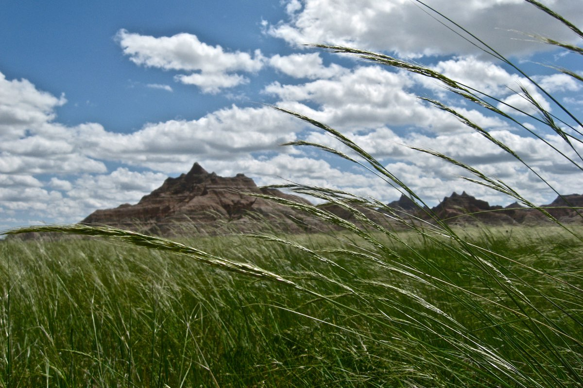 Green Needlegrass (Nassella viridula) in Badlands National Park.