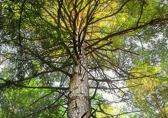 Old Growth Hemlock in Black Moshannon State Park in Pennsylvania.