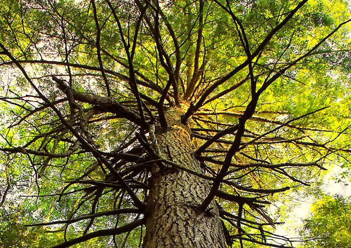 Old Growth Hemlock in Black Moshannon State Park in Pennsylvania.