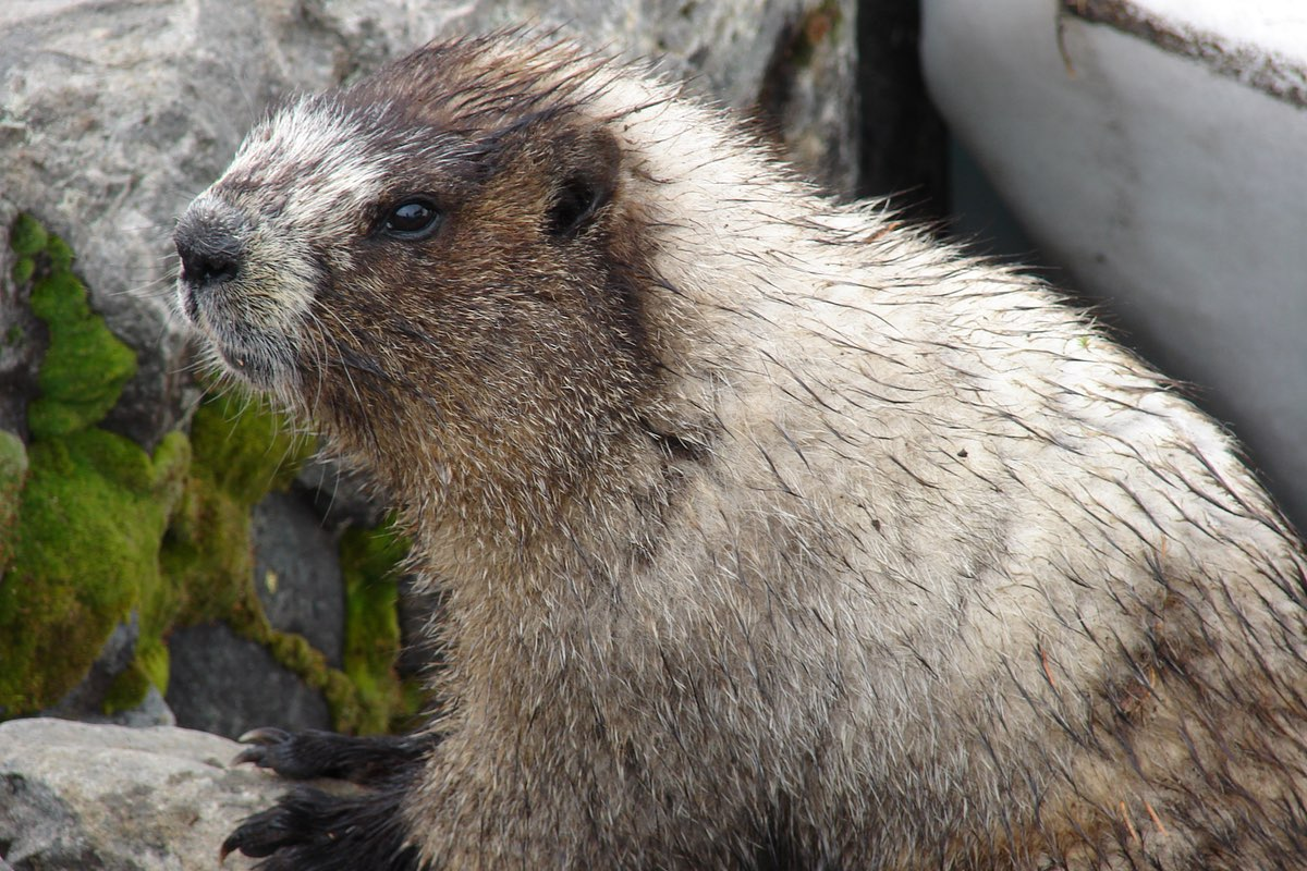 Watch for Hoary Marmots along the Summerland Trail in Mount Rainier National Park.