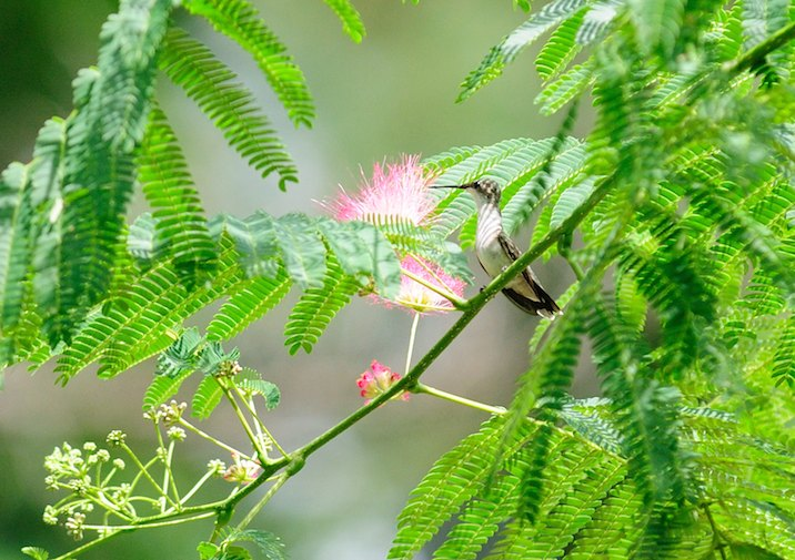 Hummingbird in Big Thicket National Preserve, Texas.
