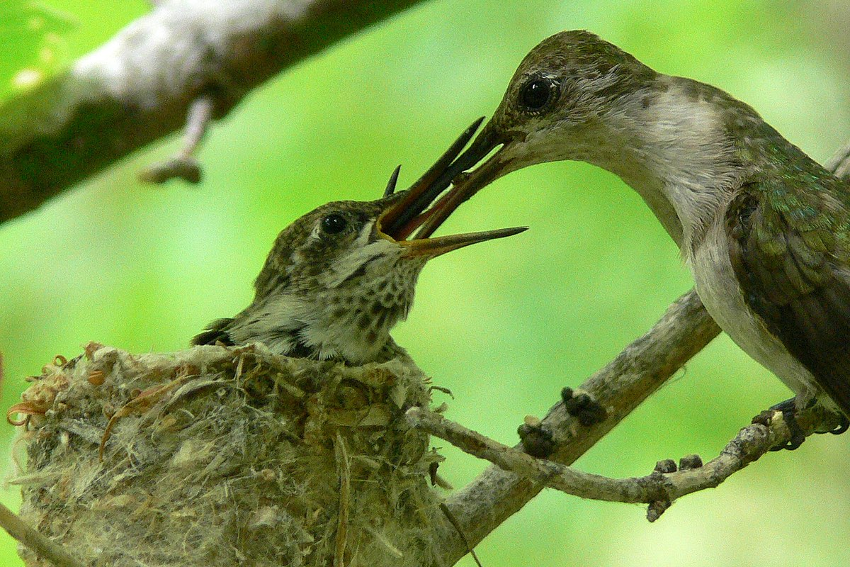 Hummingbird feeding baby in Bandelier National Monument.