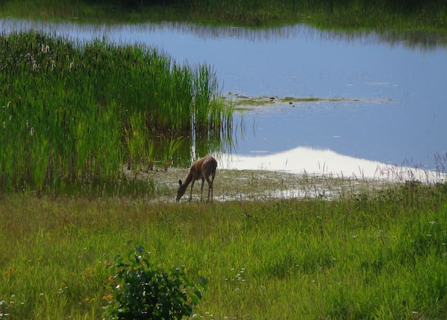 Deer from the Chickadee Trail in Kootenai NWR.