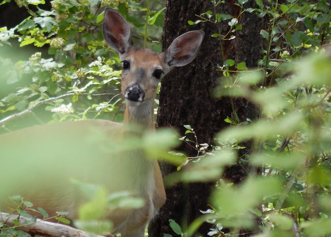 Deer are abundant along the Deep Creek Trail in Kootenai NWR.