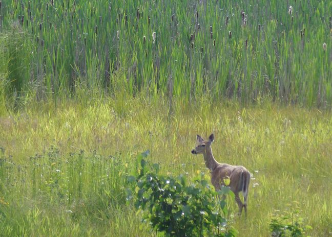 Deer along the Refuge Road in Kootenai NWR.